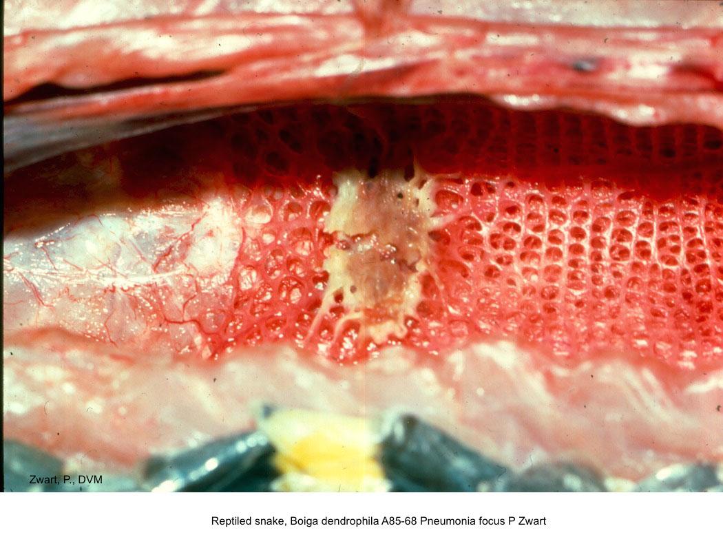 Boiga dendrophila A85-68 Pneumonia focal P Zwart kopie