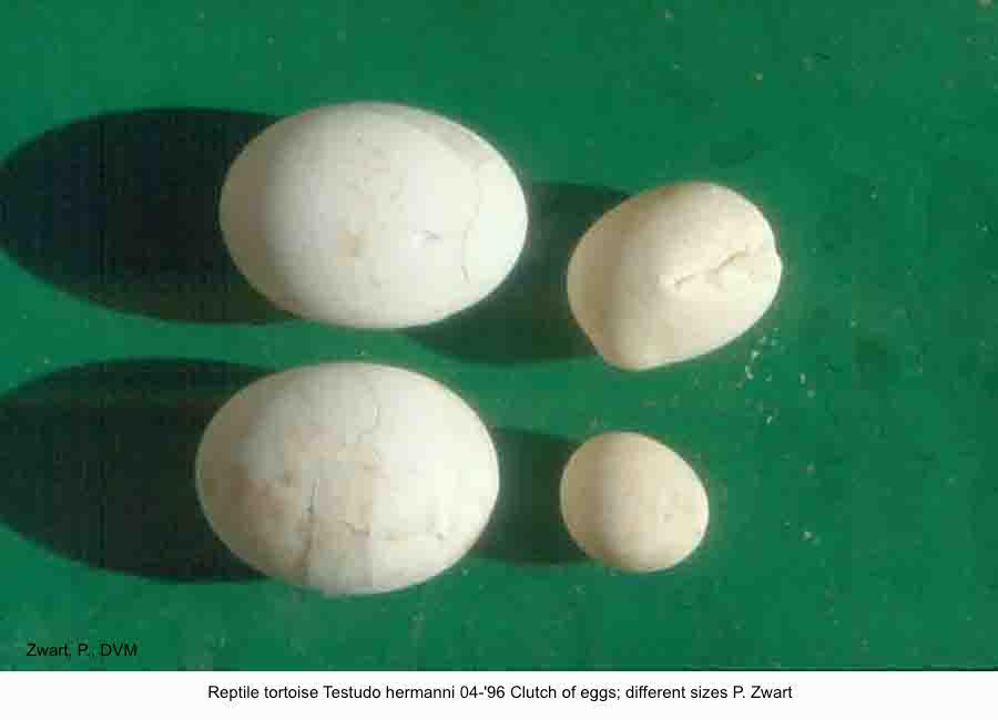 Testudo hermanni 04-'96 Clutch of eggs different sizes P. Zwart