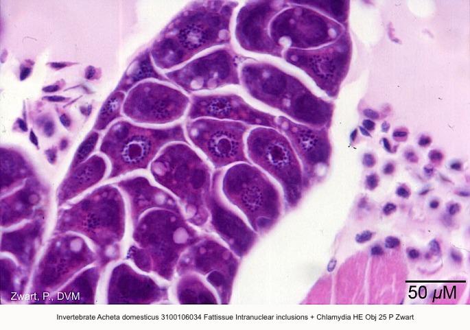 Acheta domesticus 3100106034 Fattissue Intranucle inclusions (?) + Chlamydia (?) kopie