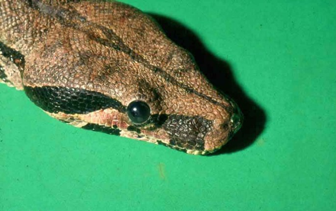 Boa constrictor afgesneden Obstruction lacrimal duct P. Zwart