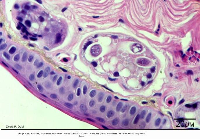 Bombina bombina 3081126035023 Skin Granular gland contains nematode HE Obj 40 P. Zwart kopie