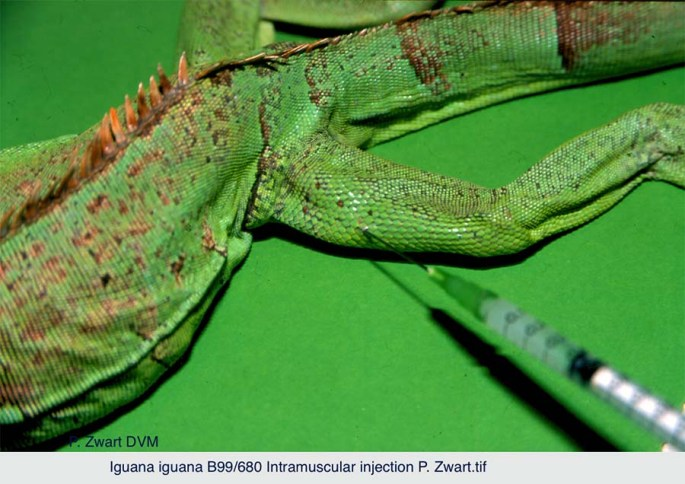 Iguana iguana B99-680 Intramuscular injection P. Zwart