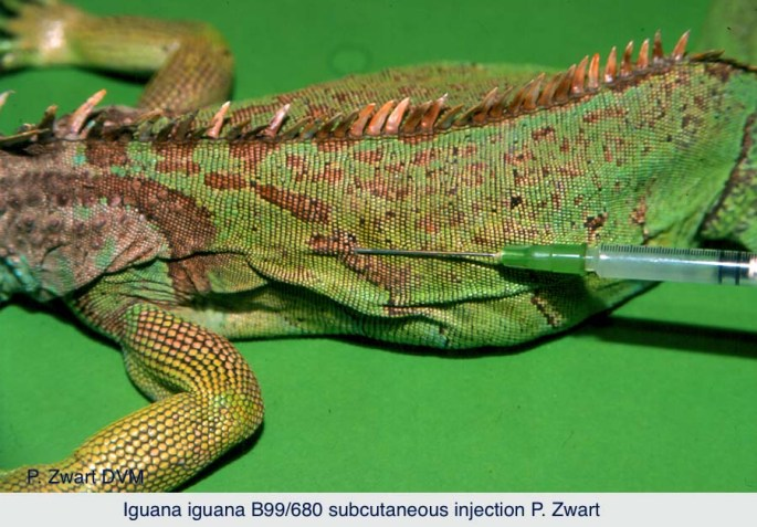 Iguana iguana B99-680 Subcutaneous injection P. Zwart