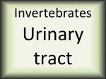 Invertebrates urinary tract