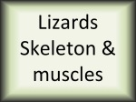 Lizards skeleton & muscles