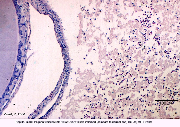 Pogona vitticeps B05-1892 Ovary follicle inflamed (compare to normal one HE Obj 10 P. Zwart kopie 18-03-29 2
