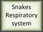 Snakes Respiratory system