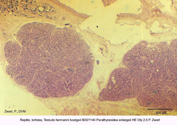 Testudo hermanni boetgeri B00-1144 Parathyreoidea enlarged HE Obj 2.5 P. Zwart