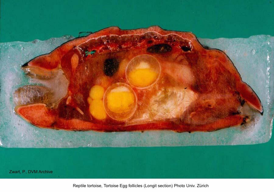 Tortoise Egg follicles (Longit section) Photo Univ. Zürich