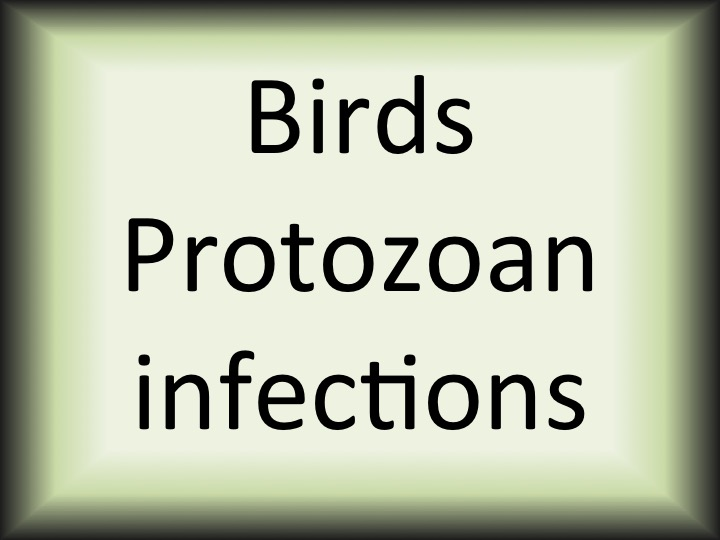 Birds protozoan infections