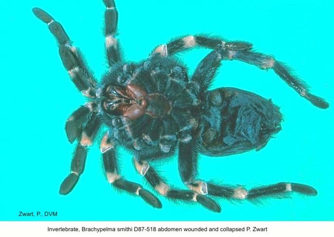 Brachypelma smithi D87-518 Wound; Abdomen collapsed P. Zwart