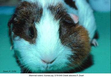 Guinea pig D79-548 Cheek abscess P. Zwart