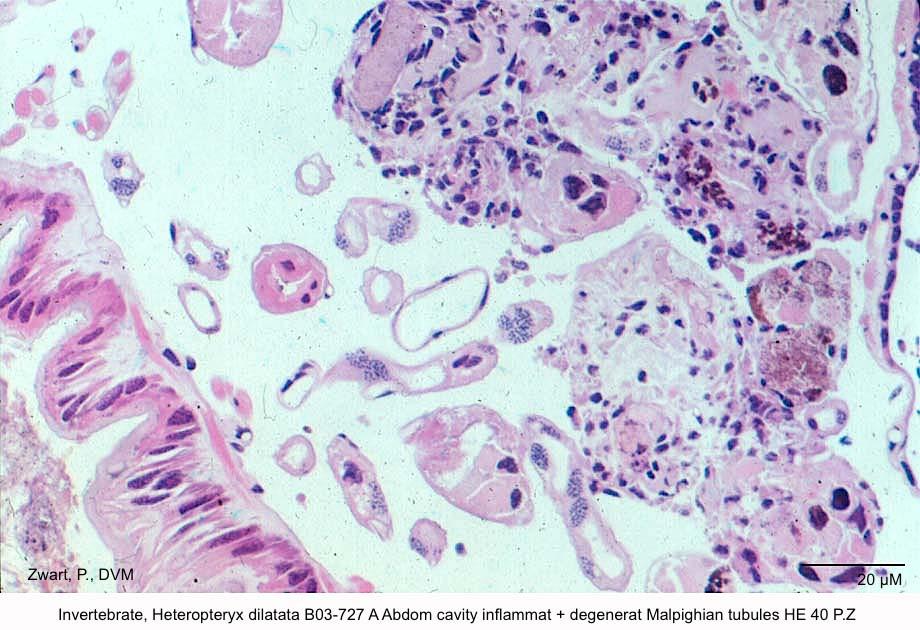 Heteropteryx dilatata B03-727 A Abdom cavity inflammat + degenerat Malpighian tubules HE 40 P.Z