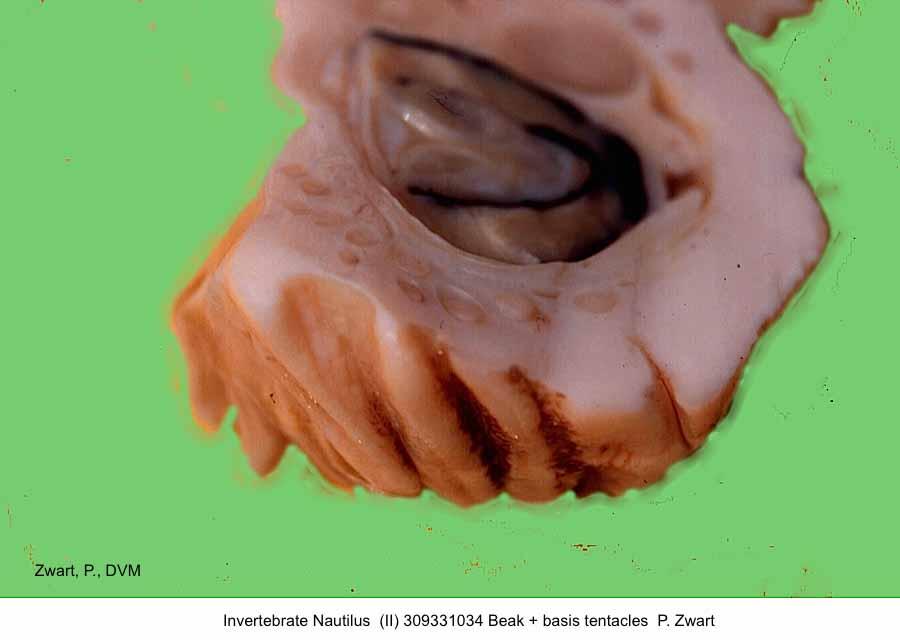 Nautilus 309331034 Beak P. Zwart