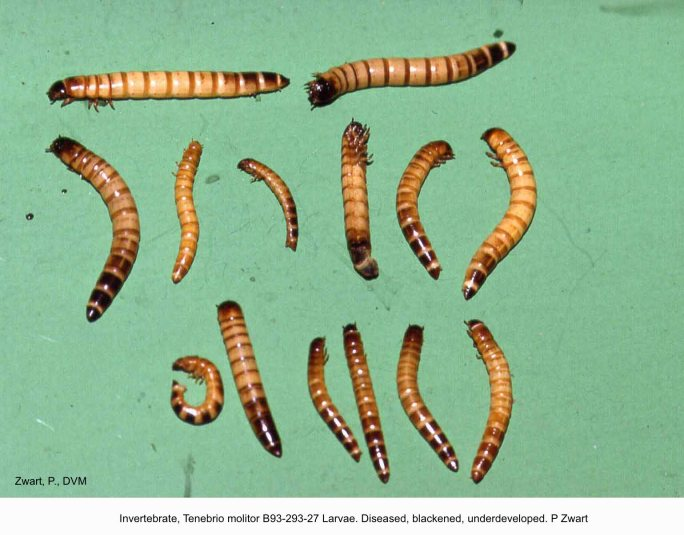 Tenebrio molitor B93-293-27 Larvae. Diseased, blackened, underdeveloped. P Zwart