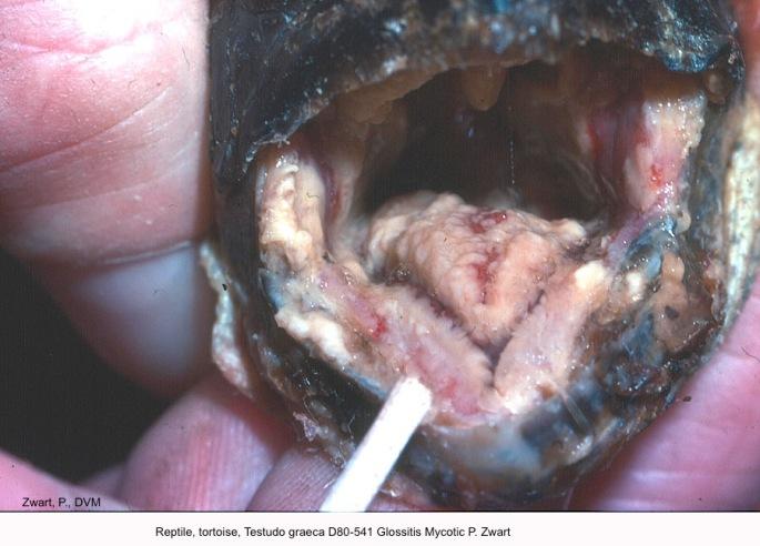 Testudo graeca D80-541 Glossitis Mycotic P. Zwart.jpg