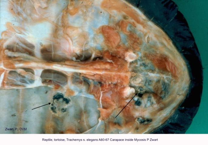Trachemys s. elegans A80-67 Carapace inside Mycosis P Zwart