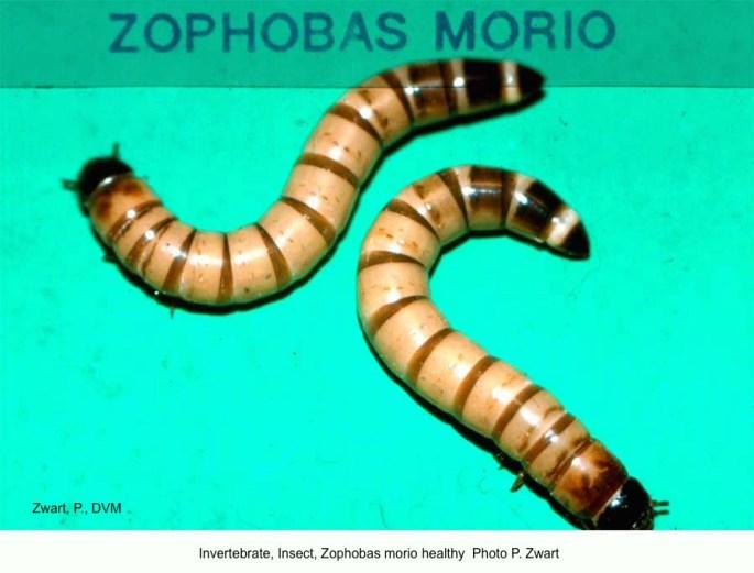 Zophobas morio B93-293 27 Healthy P Zwart kopie
