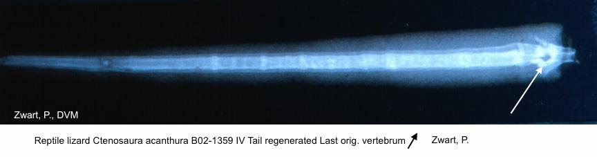 Ctenosaura acanthura B02-1359 IV Tail regenerated kopie