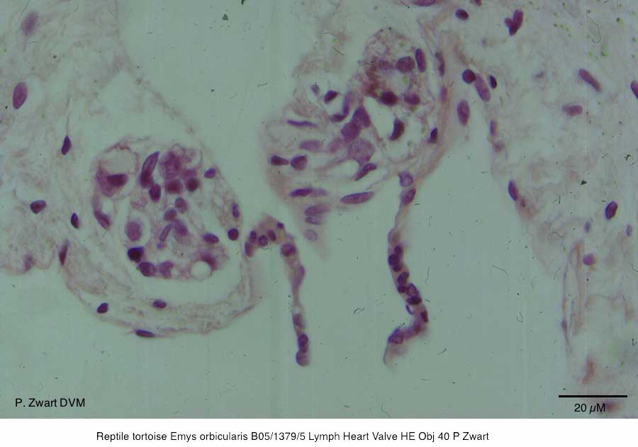 Emys orbicularis B05-1379-5 Lymph Heart Valve HE Obj 40 P Zwart