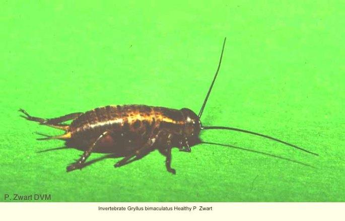 Gryllus bimaculatus Healthy P Zwart