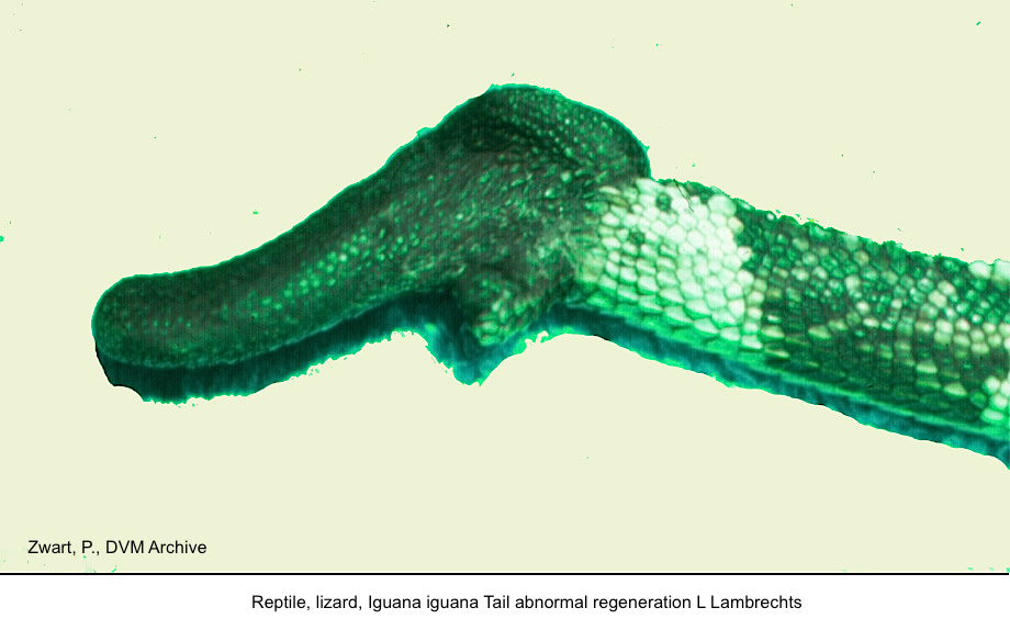 Iguana iguana Tail abnormal regeneration L Lambrechts kopie