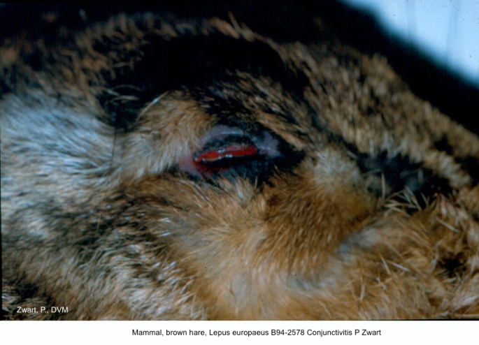 Lepus europaeus B94-2578 Conjunctivitis P Zwart