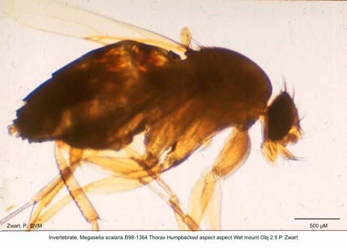 Megaselia scalaris B98-1364 Thorax humpbacked aspect. Wet mount 2.5 P copy copy kopie 2