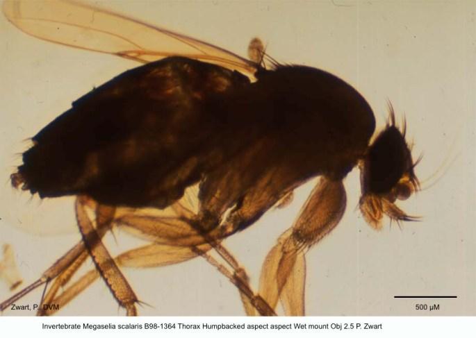 Megaselia scalaris B98-1364 Thorax Humpbacked aspect Wet mount Obj 2.5 P. Zwar`t copy kopie