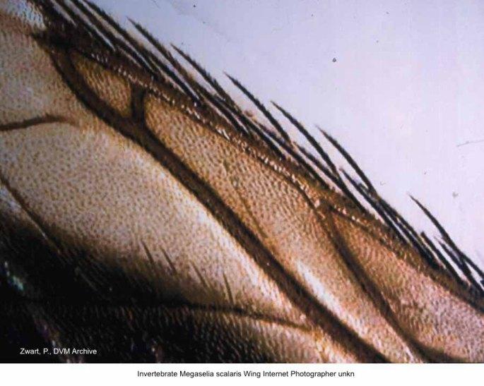Megaselia scalaris Wing Internet kopie 2