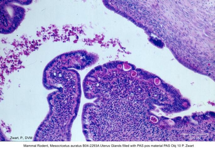 Mesocricetus auratus B04-2293A Uterus Glands filled with PAS pos material PAS Obj 10 P. Zwart