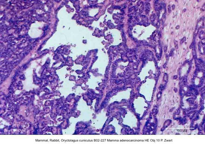 Oryctolagus cuniculus B02-227 Mamma adenocarcinoma HE Obj 10 P. Zwart