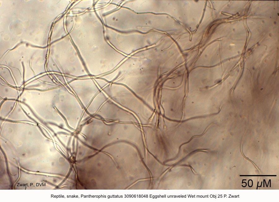 Pantherophis guttatus 3090618048 Eggshell unraveled Wet mount Obj 25 P Zwart
