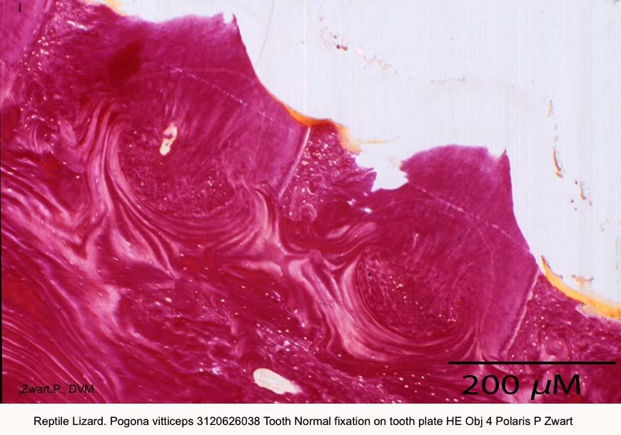 Pogona vitticeps 3120626038 Tooth Normal fixation on tooth plate HE Obj 4 Polaris P Zwart kopie 2