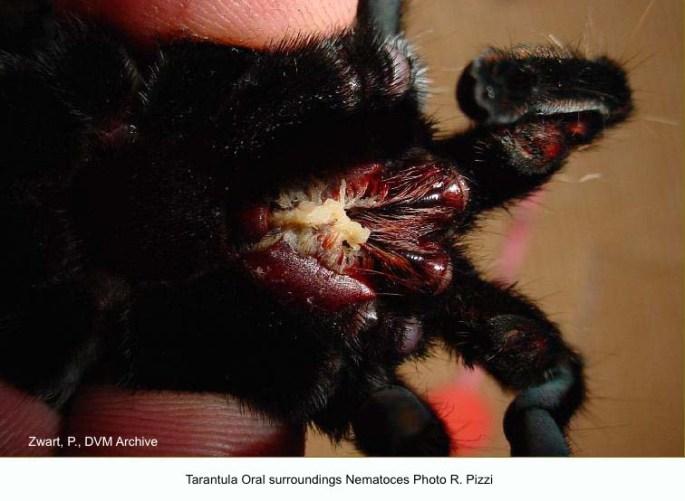 Tarantula Oral surroundings Nematoces Photo R. Pizzi