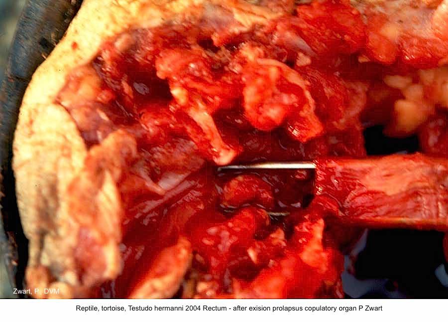 Testudo hermanni 2004 Rectum - after exision prolapsus copulatory organ P Zwart
