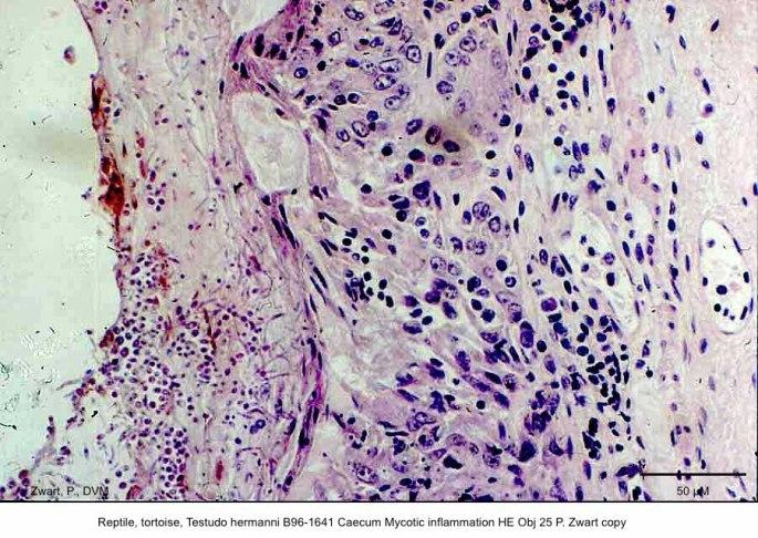 Testudo hermanni B96-1641 Caecum Mycotic inflammation HE Obj 25 P. Zwart
