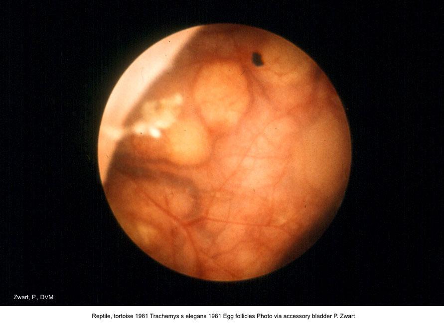 Trachemys s elegans 1981 Egg follicles Photo via saccessory bladder P. Zwart