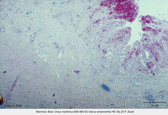 Ursus maritimus B00-865-83 Uterus endometritis HE Obj 25 P. Zwart