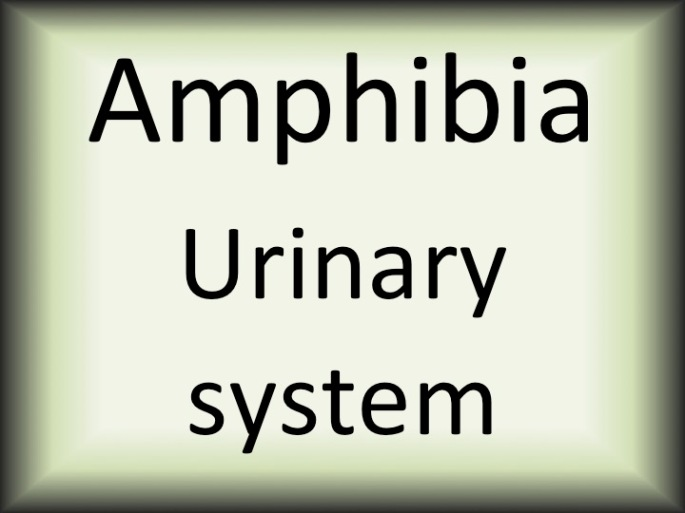 Amphibia urinary system