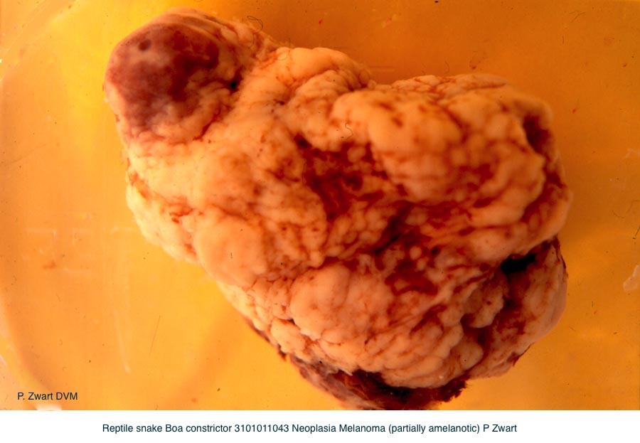 Boa constrictor 3101011043 Neoplasia Melanoma (partially amelanotic) P Zwart kopie