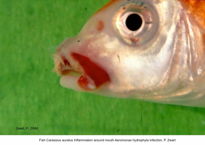 Carassius auratus Inflammation around mouth Aeromonas hydrophyla infection, P. Zwart kopie