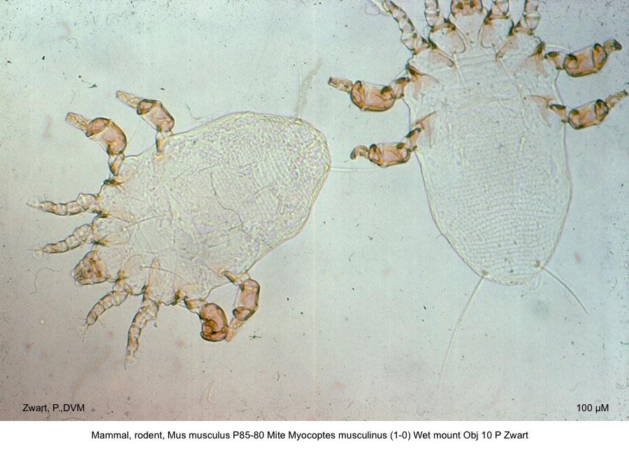 Mus musculus P85-80 Myocoptes musculinus (1-0) Wet mount Obj 10 P Zwart