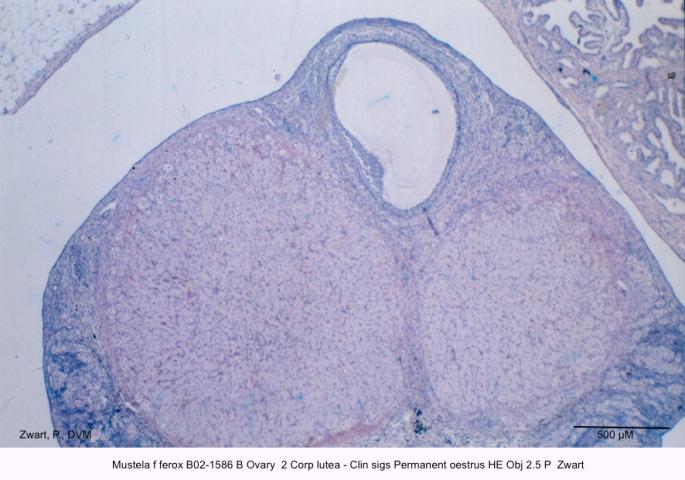 Mustela f ferox B02-1586 B Ovary 2 Corp lutea - Clin sigs Permanent oestrus HE Obj 2.5 P Zwart