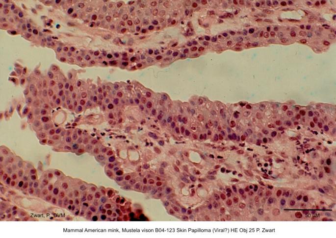 Mustela vison B04-123 Skin Papilloma (Viral?) HE Obj 25 P. Zwart