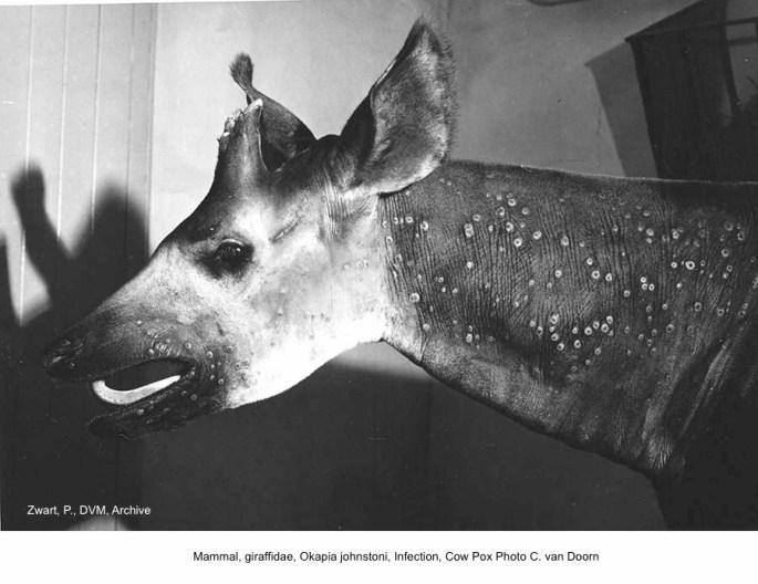 Okapia Johnstoni B68-343 Epulu Cowpox C. van Doorn