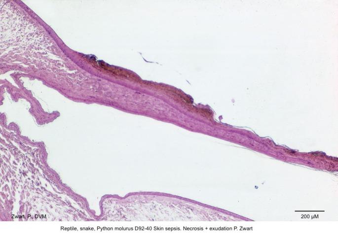 Python molurus D92-40 Skin sepsis. Necosis + exudation P. Zwart exsudatie schub bij sepsis 01 kopie