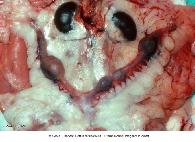Rattus rattus 86-73 I. Uterus Normal Pregnant P. Zwart