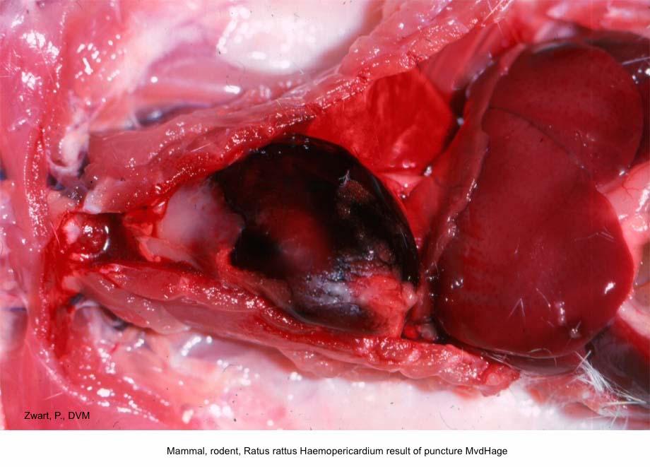 Rattus rattus Haemopericardium result of puncture MvdHage