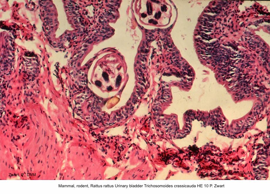 Rattus rattus Urinary bladder Trichosomoides crassicauda HE 10 P